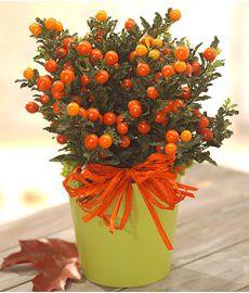 Solanum Plant